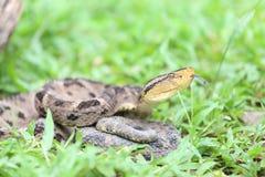 Ferdelance坑蛇蝎在雨林里 库存图片