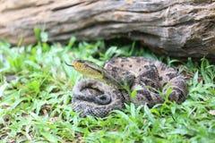 Ferdelance Pit Viper in het Regenwoud Stock Foto's