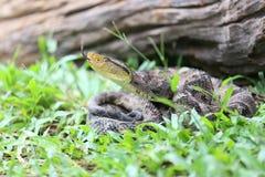 Ferdelance Pit Viper in het Regenwoud Royalty-vrije Stock Foto's
