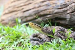 Ferdelance Pit Viper im Regen-Wald Stockfotografie