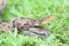 Ferdelance Pit Viper im Regen-Wald Stockfoto