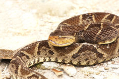 Ferdelance Snake Royalty Free Stock Photography