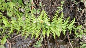 Fern plant kodai royalty free stock photos