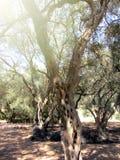 Feriado grego do detalhe do bosque verde-oliva imagens de stock