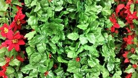 Ferie gröna Holly Garland med röda julstjärnablomningar Royaltyfri Foto