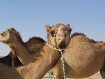 Ferien in Abu-Dabi, Kamele in der Wüste Lizenzfreie Stockfotos