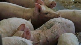 Ferkel auf Bauernhof Schweinezuchtbetrieb für die Produktion von genetischen Betriebsmitteln in der Tierzucht stock video footage