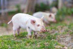 Ferkel auf grünem Gras des Frühlinges auf einem Bauernhof Lizenzfreies Stockfoto