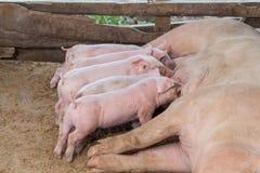 Ferkel, das Schweine in einer hölzernen Einschließung gestillt wird Stockfotografie