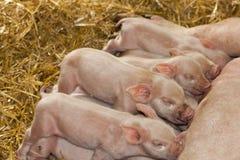 Ferkel, die vom Mutter-Schwein einziehen Stockbilder