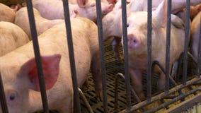 Ferkel im Pigpen stock footage