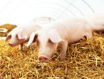 Ferkel mit zwei Jungen am Schweinezuchtbauernhof Lizenzfreie Stockfotografie