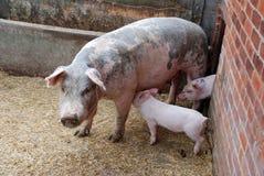Ferkel und Schwein Stockfotos