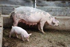 Ferkel und Schwein lizenzfreie stockfotos