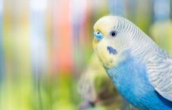 Fermé de l'undulatus bleu de Melopsittacus de perruche Photo stock