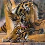 Fermé des tigres léchant sur la tête de son ami Photos stock