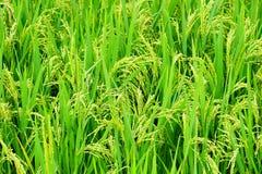 Fermé du gisement de riz de couleur verte Photo stock