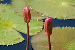 Fermé vers le haut d'une paire de rose vibrant Lotus Flower Buds avec Lotus Leaves à l'arrière-plan photographie stock libre de droits