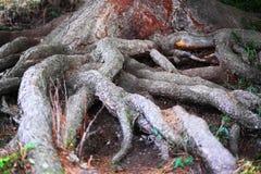Fermé vers le haut de grandes racines d'arbre Photographie stock libre de droits