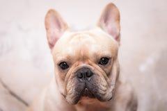 Fermé vers le haut de l'animal de bouledogue français Photo stock