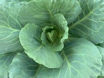 Fermé vers le haut de l'image des feuilles du chou frisé, brassica oleracea, Chinois Broccol photos libres de droits