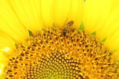 Fermé vers le haut de la demi image d'un tournesol de pleine floraison avec une petite abeille rassemblant le nectar image stock