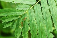 Fermé vers le haut de la fourmi rouge Photo stock
