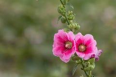 Fermé vers le haut des fleurs roses sur les milieux verts brouillés Photos stock