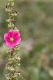 Fermé vers le haut des fleurs roses sur les milieux verts brouillés Images stock