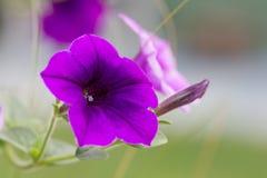 Fermé vers le haut des pétunias sauvages violets Photo libre de droits