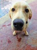 Fermé vers le haut du visage d'un chien brun de Labrador image stock