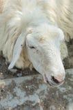 Fermé vers le haut du visage des moutons Photo stock