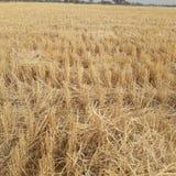 Ferme après culture de blé photographie stock libre de droits