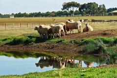 Ferme australienne de moutons Photos stock