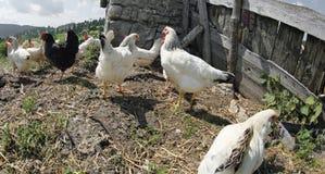 Ferme avicole avec beaucoup de poules Photographie stock libre de droits