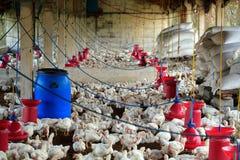 Ferme avicole avec le poulet à rôtir (volaille) Photo libre de droits