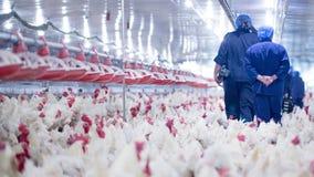 Ferme avicole avec le poulet d'éleveur de grilleur photos libres de droits
