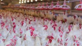 Ferme avicole avec le poulet d'éleveur de grilleur photographie stock libre de droits