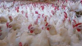 Ferme avicole avec le poulet d'éleveur de grilleur photos stock