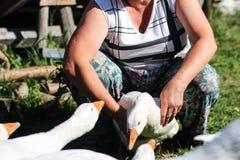 Ferme avicole - oie Photos libres de droits