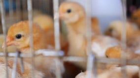Ferme avicole Petits poulets à rôtir de poulet dans le magasin de bêtes banque de vidéos