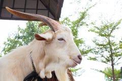 Ferme blanche de chèvre Photographie stock libre de droits