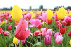 Ferme colorée de tulipe Photo libre de droits
