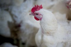 Ferme d'affaires de poulet de ferme avicole Images stock