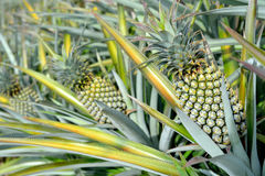 Ferme d'ananas Photos stock