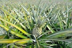 Ferme d'ananas Images libres de droits