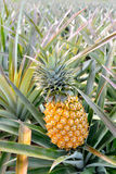 Ferme d'ananas Images stock