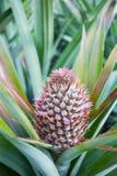 Ferme d'ananas Photo libre de droits