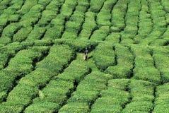 Ferme d'arbre de thé Images stock
