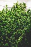 Ferme d'intérieur de marijuana remplie d'usines de bourgeonnement de cannabis Image libre de droits